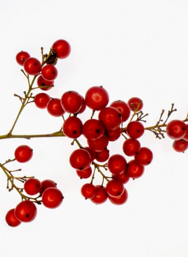 Калина красная: как и зачем есть горькие ягоды