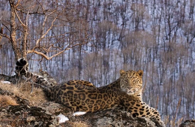 Ареал дальневосточного леопарда расширился в три раза