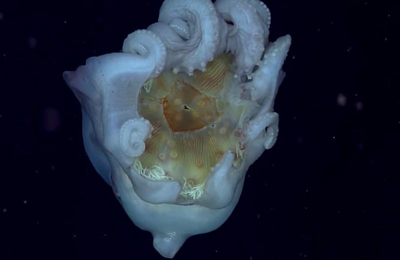 Осьминог использует останки медузы как оружие: видео