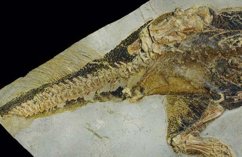 Палеонтологи заглянули в клоаку пситтакозавра