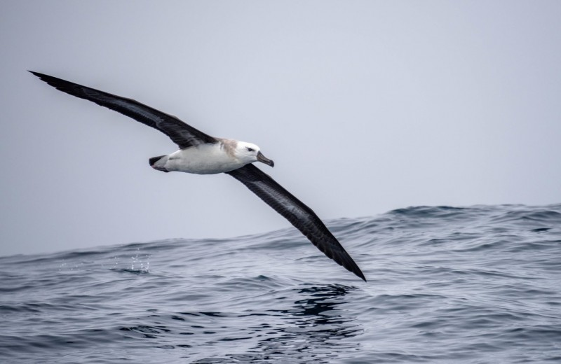 Пернатый спецназ: как альбатросы помогают ловить браконьеров