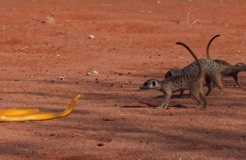 Отважные сурикаты против капской кобры: видео