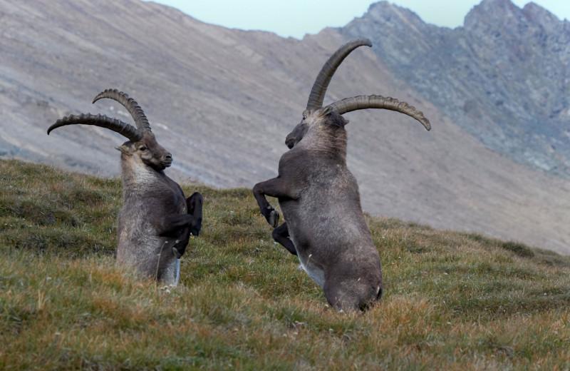 Превратности любви в дикой природе: самые необычные брачные ритуалы у животных