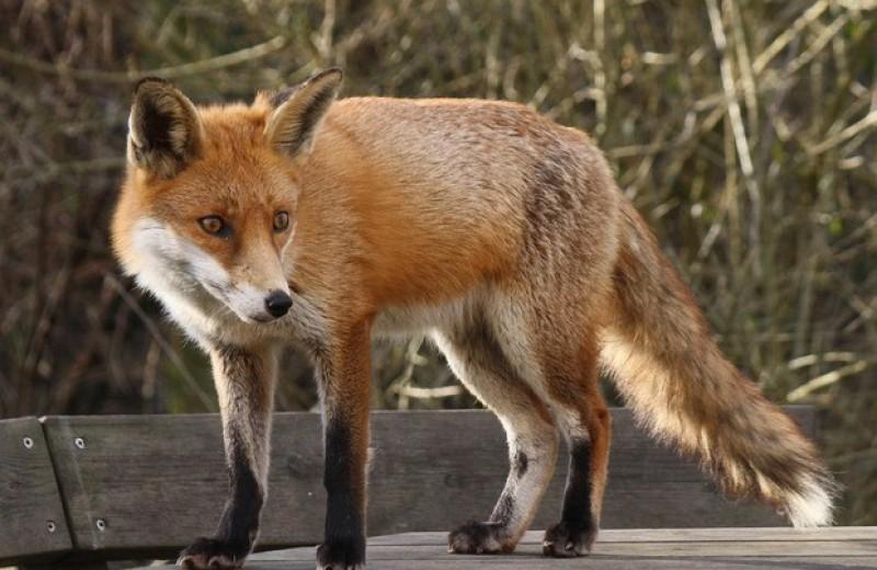 Рыжих лисиц и песцов уличили в поедании человеческих объедков в среднем палеолите