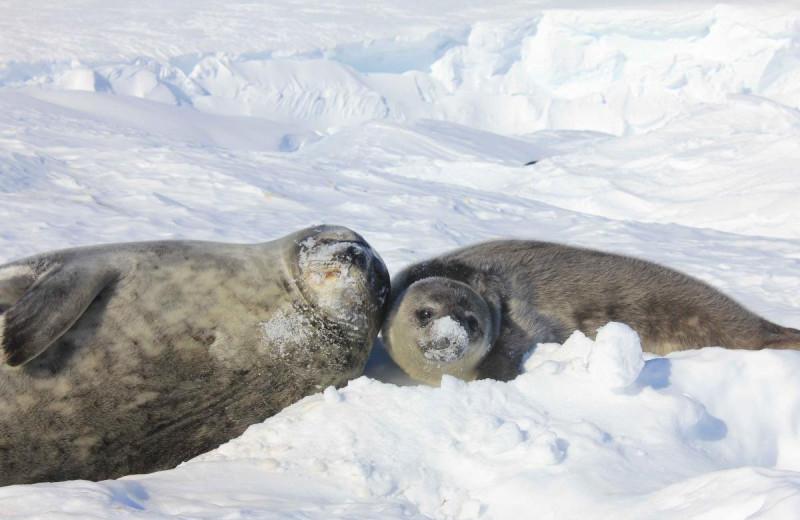 Тюленья школа: биологи узнали, чему взрослые тюлени учат своих детенышей