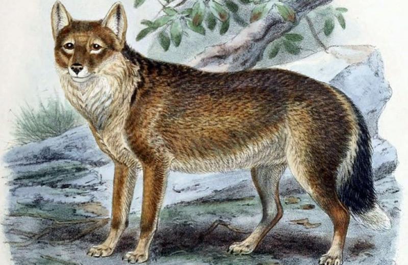 Завезенные на Фолкленды лисицы частично заменили истребленных волков