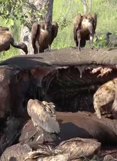 Что происходит с тушей слона за 5 дней: видео