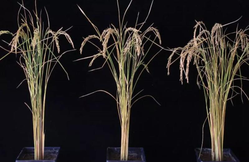 Простая настройка РНК увеличивает урожайность картофеля и риса на 50 процентов