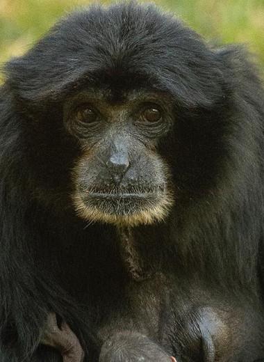 Цветы запоздалые: редкая обезьяна принесла потомство в зоопарке Сан-Диего