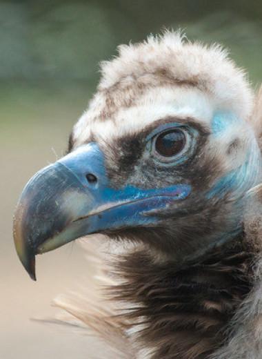 Орнитологи подтвердили первую в Европе смерть грифа от диклофенака