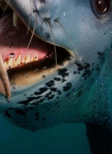 Гроза морей: морские леопарды Антарктики