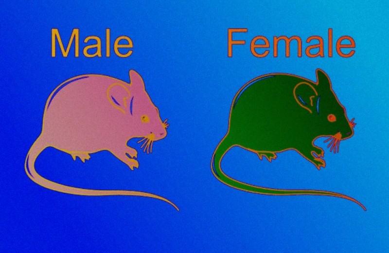 Женский пол защитил мышей от перитонита