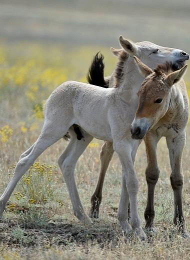 В Оренбургском заповеднике родились первые жеребята лошади Пржевальского