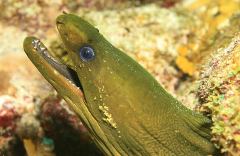Мурены с карибских рифов выиграли от истребления акул