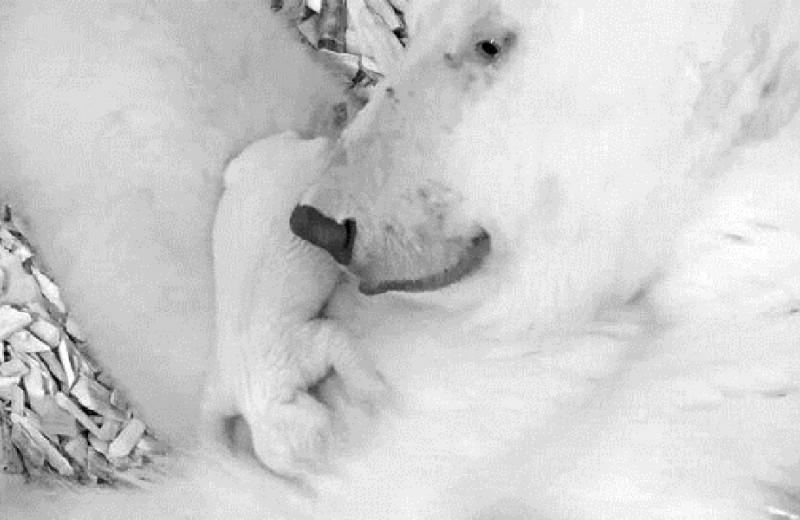 Как выглядит новорожденный белый медвежонок: видео