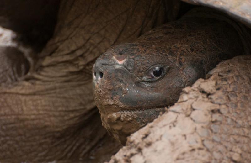 Усиленный апоптоз помог галапагосским черепахам снизить риск заболеть раком