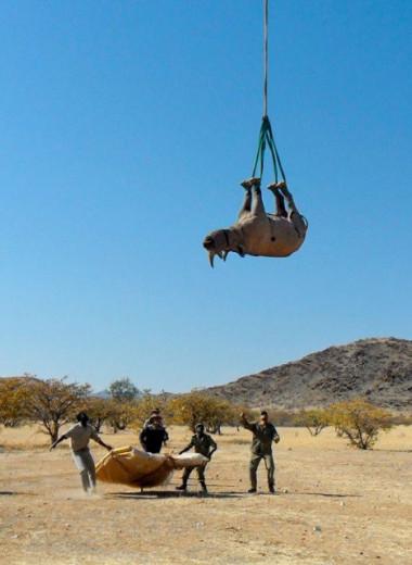 Носорогов лучше перевозить по воздуху вверх ногами