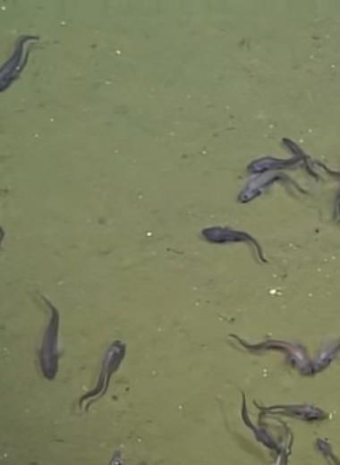 Рыбы, живущие без кислорода