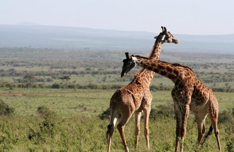 Соседство с людьми расстроило дружбу жирафов