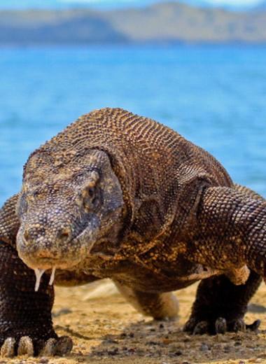 Посещение острова Комодо для туристов будет стоить $1000. Раньше его хотели запретить