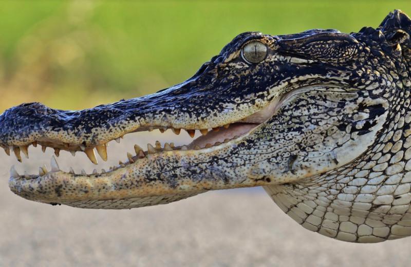 Изменение климата приведет к преобладанию самок среди аллигаторов