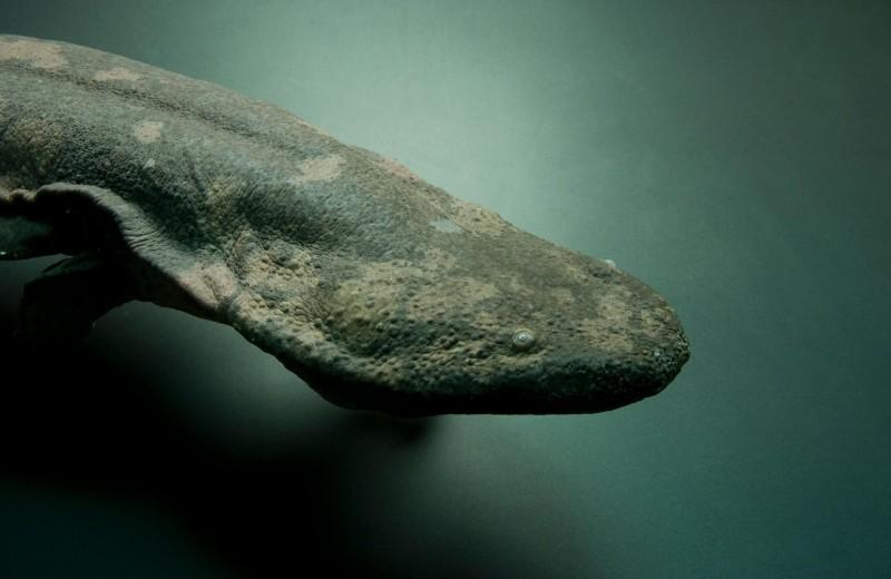 Какая амфибия – самая большая на свете? Учёные определили по ДНК!