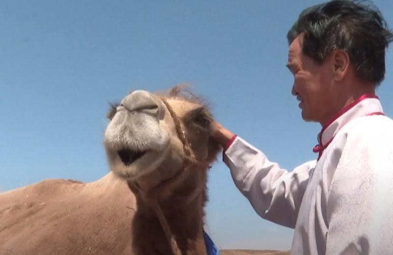 Верблюд прошел 100 км по китайским степям, чтобы вернуться к бывшим хозяевам