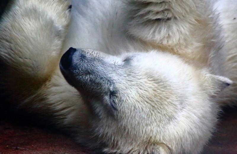 С помощью белых медведей изобретен