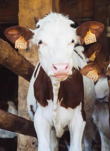 Круиз для коров: как работает водоплавающая молочная ферма