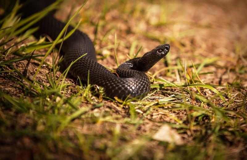 Как лечат змеиные укусы