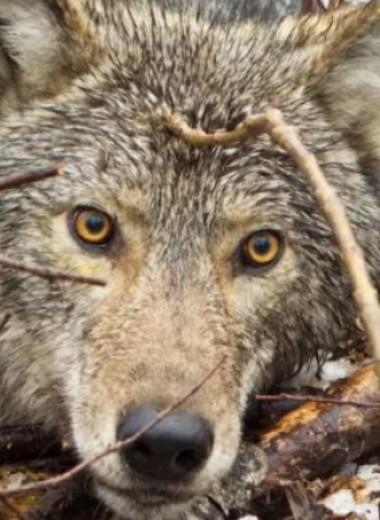Видео: первая съемка с камеры в ошейнике дикого волка