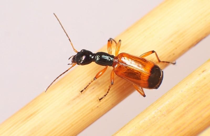 В России нашли новый вид жуков. Они считались эндемиками Японии