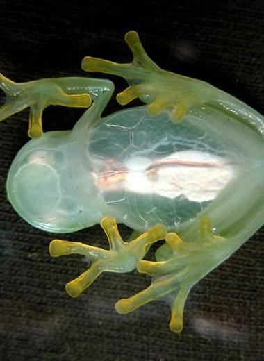 У стеклянных лягушек описали новый тип камуфляжа