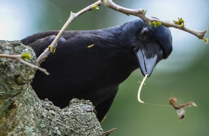 Не каркай: почему интеллект вороны не уступает приматам