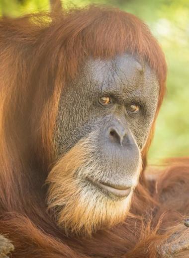 Умерла старейшая в мире самка орангутана
