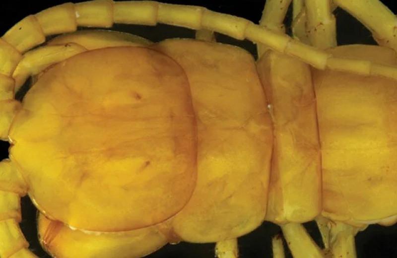 Ученые обнаружили в ядовитой пещере огромную многоножку: миллионы лет под землей