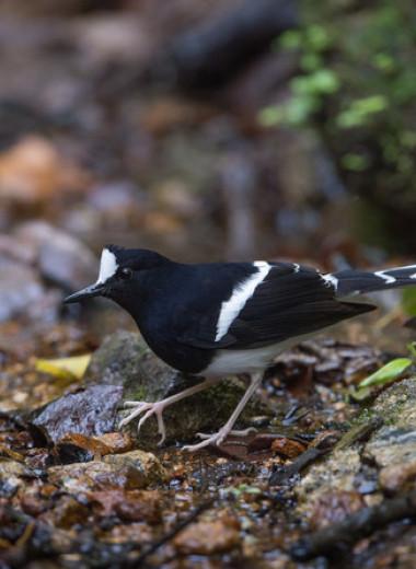 Долгоживущие воробьиные птицы из тропических лесов отказались размножаться в засушливый год