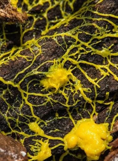 Почти разумная плесень: как устроена желтая слизь
