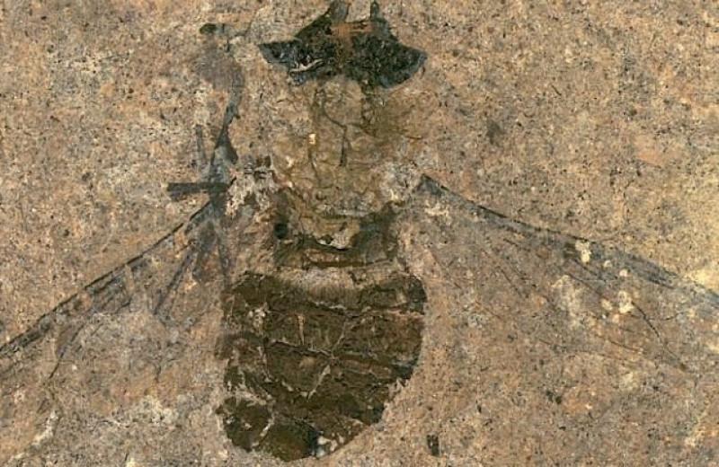 Впервые изучено содержимое желудка мухи возрастом 47 миллионов лет