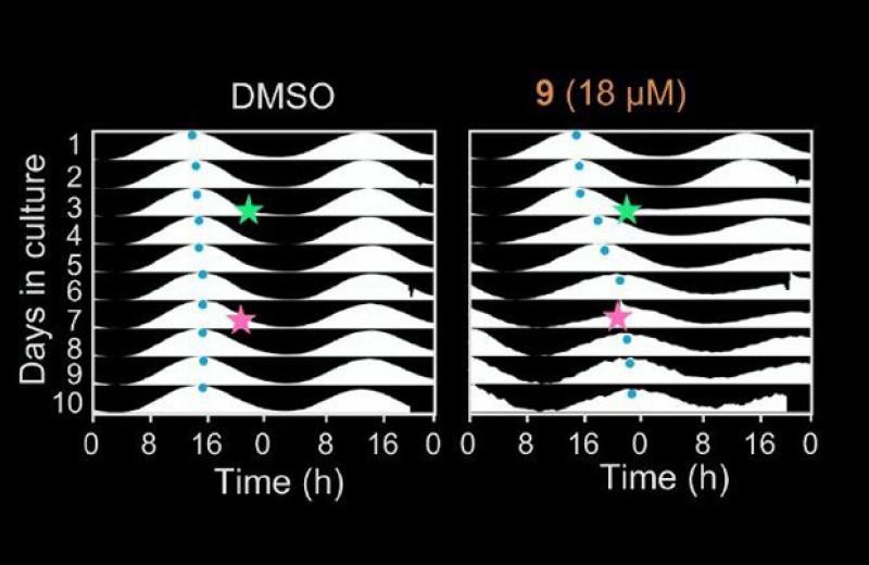 Фотоуправляемое соединение изменило циркадный ритм клеточной культуры