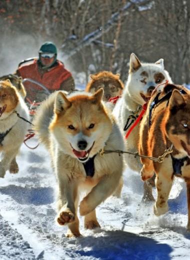 Крепче за собаку держись, шофёр! Собачьи упряжки стали официальным видом транспорта в Дании