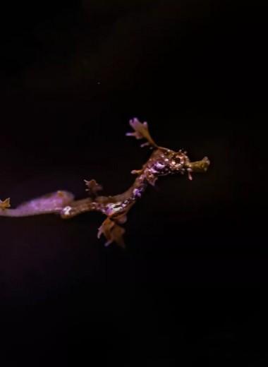 В американском аквариуме родился редчайший морской дракон