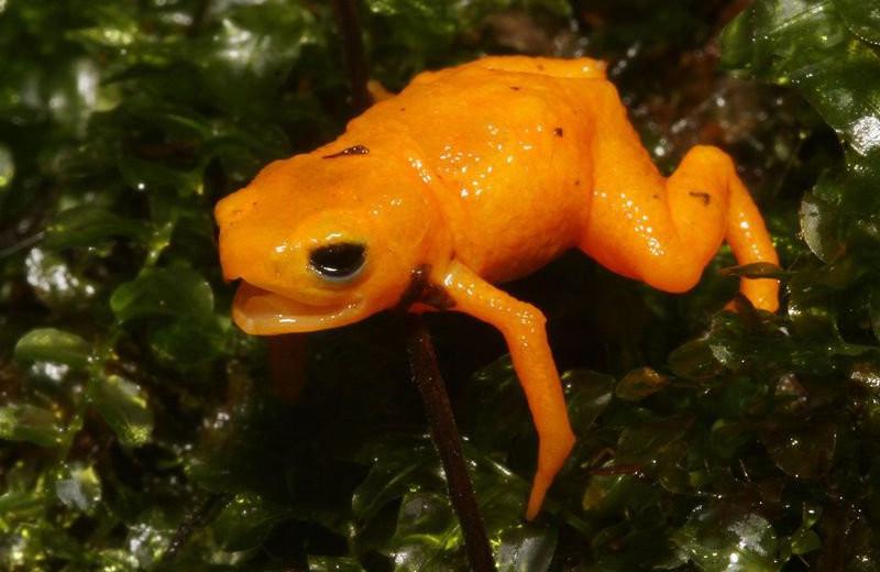 Мерцающие седлоносные жабы не слышат своих голосов, но все равно кричат