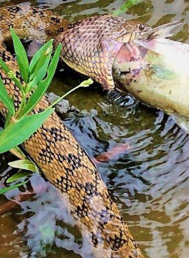 Водная змея пытается съесть рыбу: фото