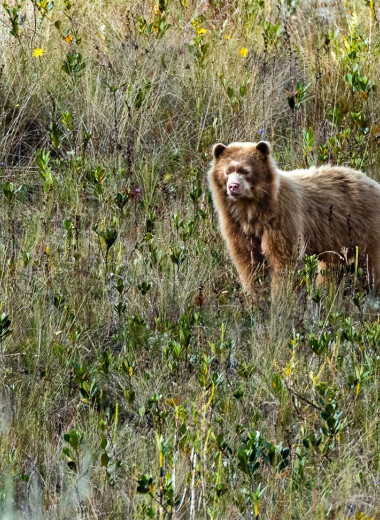 В Перу заметили «золотого» очкового медведя