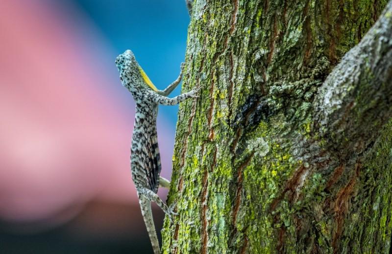 Летучий дракон: невидимка, не слезающий с дерева
