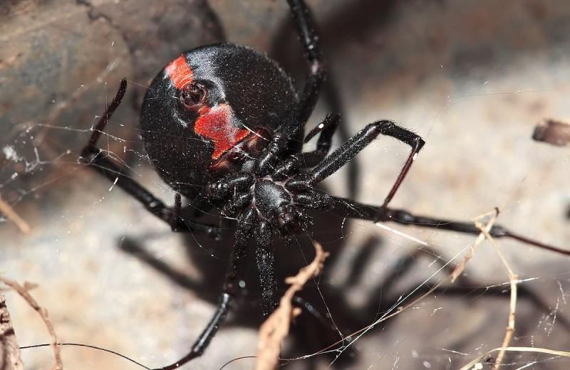 Ядовитый паук против ядовитой змеи – кто победит?