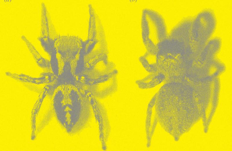 Зоологи покрасили скакунчиков косметикой и усомнились в защитной функции их узора