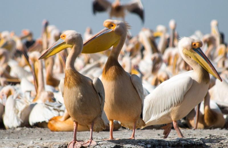 В птичьем заповеднике в Сенегале обнаружили 750 мертвых пеликанов