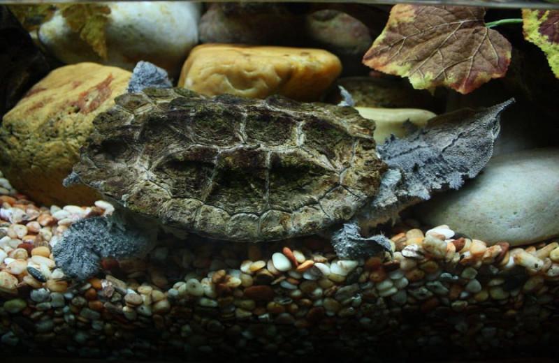 Мата-мата: черепаха с крайне необычной внешностью